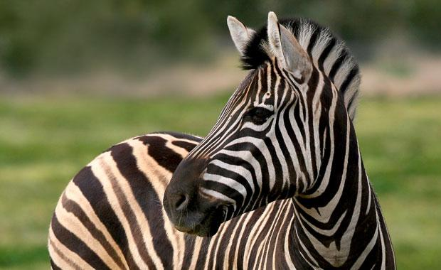 zebra-mz-1-animal-profile-web620
